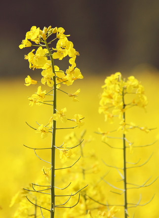 Nuseed Enters Canadian Market With First Registered Canola Hybrid