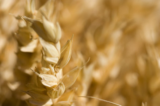 Texas A&M Study to Determine Best Organic Grain Production Recommendations