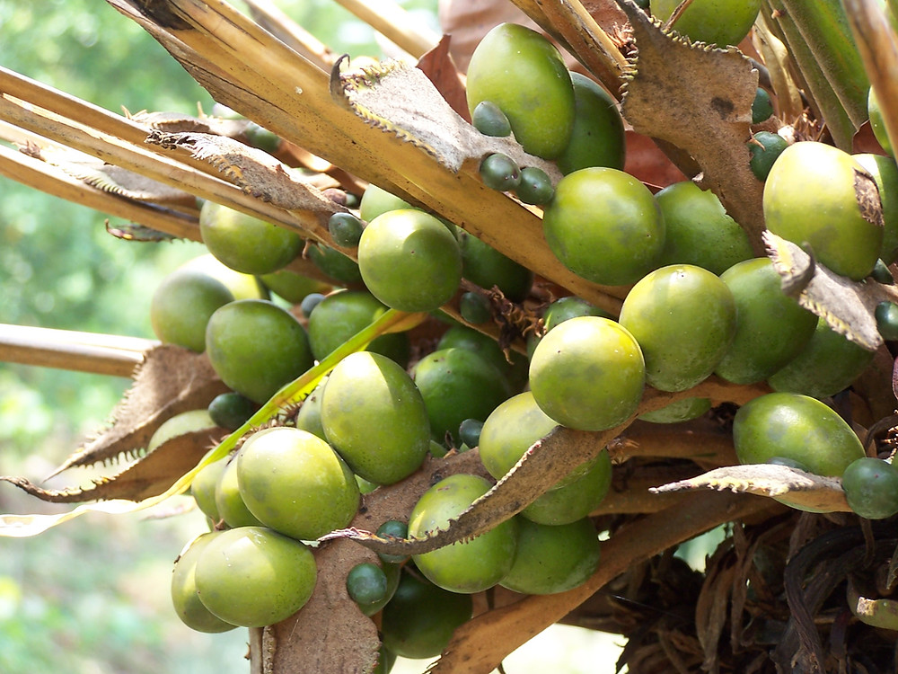 Oil Palm_green and brown.jpg
