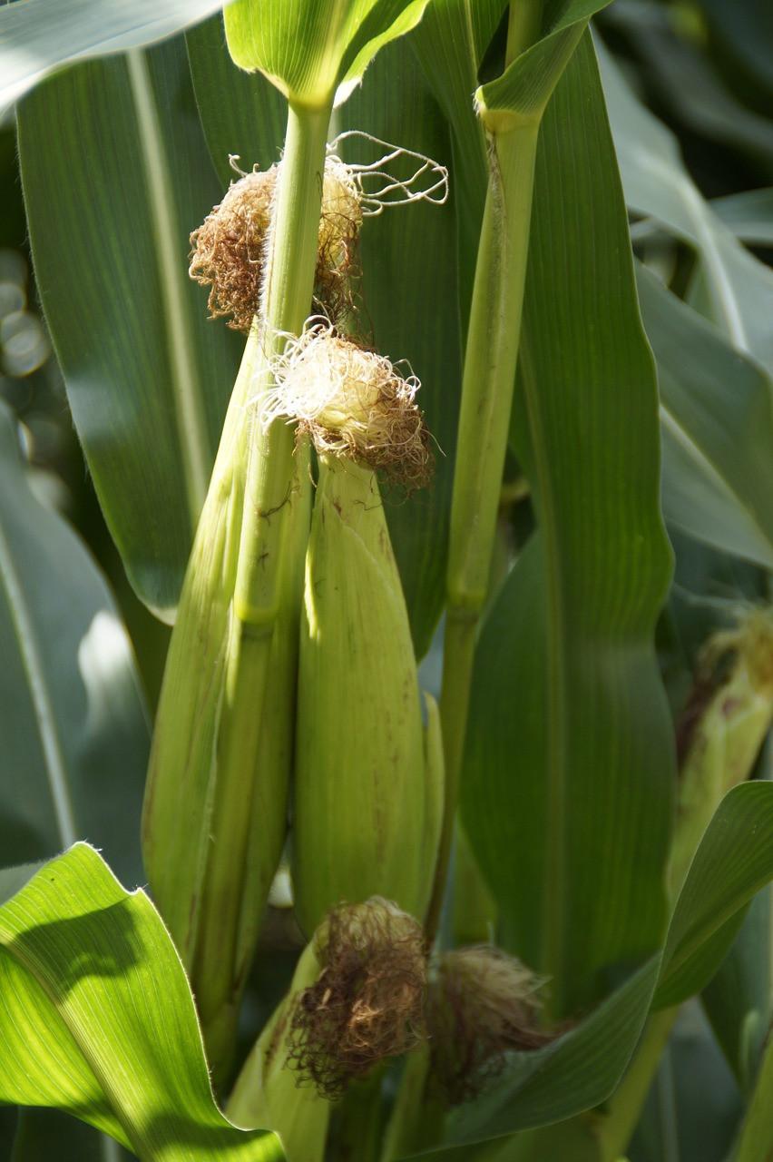 Corn close up.jpg
