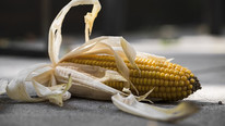 Mexico's Ban on GMO Corn to Include Animal Feed Imports
