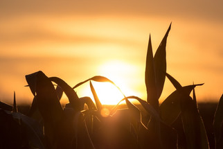 Cargill, Rodale, Bell & Evans Partner to Transition 50K Acres of U.S. Corn and Soy to Organic