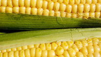 A New $2M Grant to Drive Development of Corn Hybrids for the Organic Market