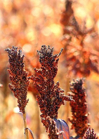 China Makes a Historic U.S. Sorghum Purchase Amid Rebounding Demand