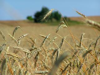 USDA Invests in Hybrid Wheat Development