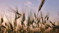 Two Scientists - One in Texas, One in Nebraska - Are Working to Launch Hybridized Wheat