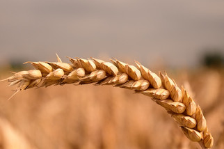 Global Wheat Supplies Are Falling, Meaning Higher Prices For Consumers