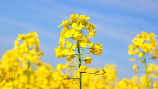 Royal DSM, Avril Group Launch JV to Produce Non-GMO Canola Protein for the Plant-Based Global Market
