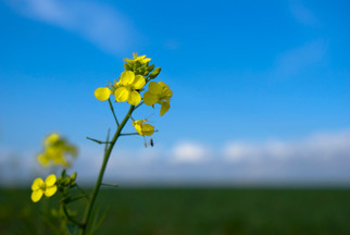 Royal DSM, Avril Partner to Develop New Protein Based on Non-GMO Canola