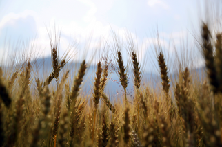 Union Pushing for the Reinstatement of the Canadian Wheat Board