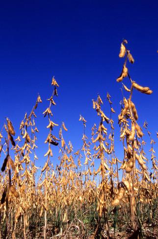 Brazil Taking U.S. Soybean Market Share in China