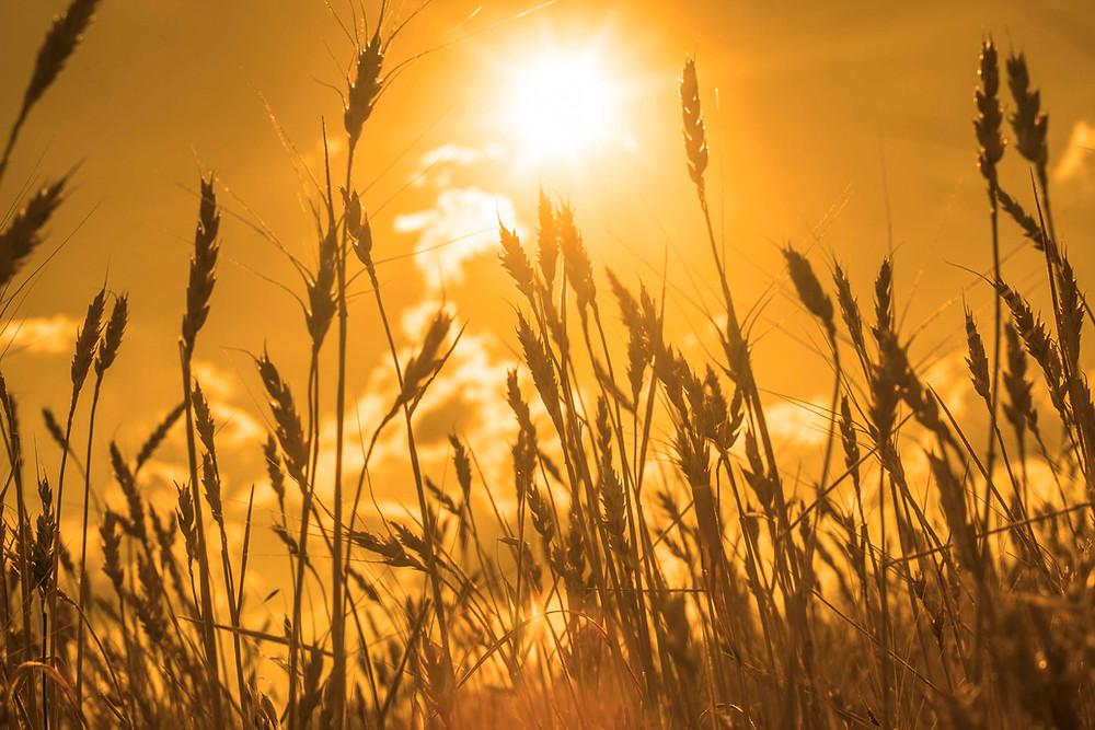 Thinkstock_wheat-sun_467207805.jpg