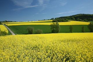 Canadian Canola Farmers Left With Record Unsold Surplus Amid Chinese Trade Tensions, Slumping Export
