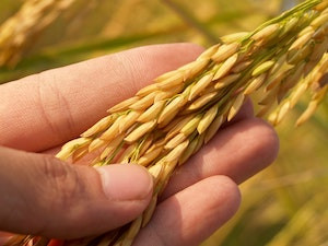 This Landmark Study Has Created The First Global Genomic Map for Wheat Development
