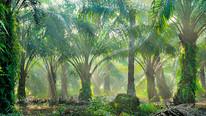Sri Lanka Bans Palm Oil, Orders Plantations to Uproot Trees
