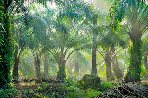 Sri Lanka Bans Palm Oil, Orders Plantations to Uproot Trees