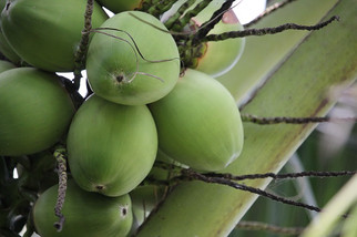 As Guyana weans itself off sugar, the country's coconut industry awakens