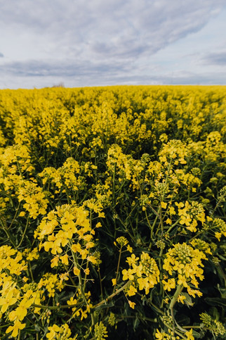 Merit Functional Foods Constructing World's First Facility to Produce Food-Grade Canola Protein in M
