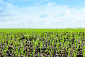 BASF, PowerPollen Collaborate to Advance Hybrid Wheat Development