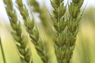 Argentina is the First Country in The World to Approve Strain of GMO Wheat