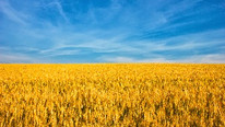 General Mills Partnership with Gunsmoke Farms Successfully Transitions 34,000 Acre Grain Farm to Org