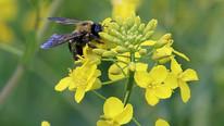 Cibus Announces Successful Field Trial Results for Non-GMO Canola Trait Providing Tolerance to White