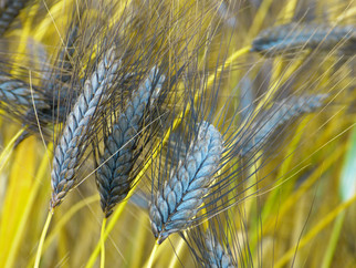 Syngenta is Scaling Back Hybrid Wheat Development in North America
