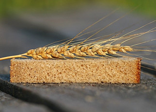 Bay State Milling is First to Order New High-Fiber Wheat Variety from Agbiotech Company Arcadia Bios