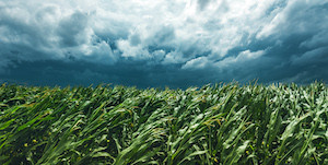 Derecho Wipes Out 9 Percent of Iowa Corn Crop, Kills Expectations of Record Harvest