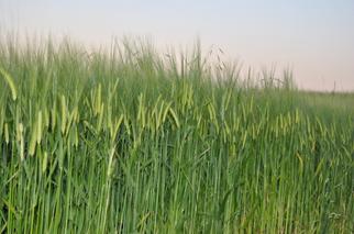Amaggi Buys Majority Stake in Norwegian Non-GMO Grain Company