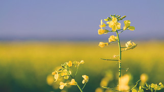 Amid Trade Tensions with China, Canada Strives to Diversify Canola Export Markets