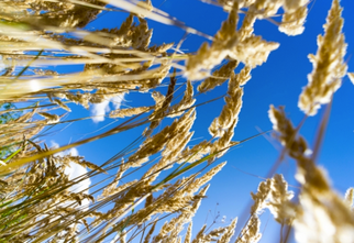 Two New Herbicide-Tolerant Wheat Varieties Being Released