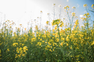 Canola on the Losing End of Chinese Dietary Shifts
