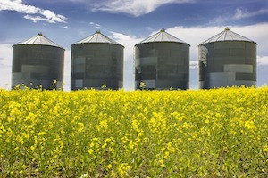 Despite Trade Tensions, Canadian Canola Prices Soar as Exporters Access Backdoor to Chinese Market