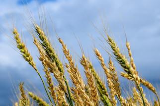 United Grain Acquires Two Scoular Grain Facilities in Oregon, Idaho