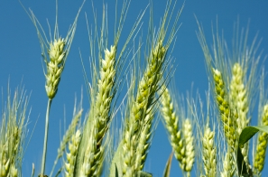 USDA ARS Scientists Discover Gene That Increases Wheat Resistance to Fusarium Head Blight