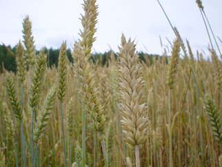 Indigo Ag to Supply One Million Bushels of Identity Preserved Wheat