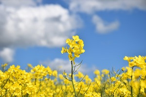 Team at University of Calgary Develops New Canola Variety