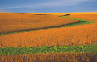 World Rapeseed Output to Fall for First Time in Five Years