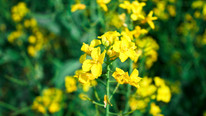 New Study Finds Rapeseed has the Potential to Replace Soy as Top Plant-Based Protein for Humans