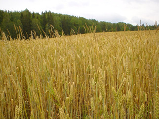 Russia Cuts Wheat Export Duty to Zero for Two Years