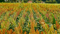 Team Discovered Key to Sorghum Heat Tolerance, Plans to Use Knowledge to Boost Tolerance in Corn
