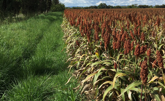 Delegation of Mexican Sorghum Buyers to Visit Kansas, Texas