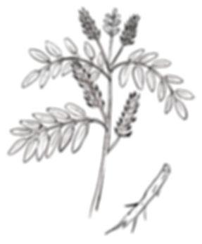 甘草,線画,お洒落な線画,植物のイラスト,お洒落なパッケージ,