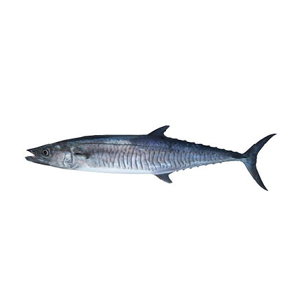 Spainish Mackerel