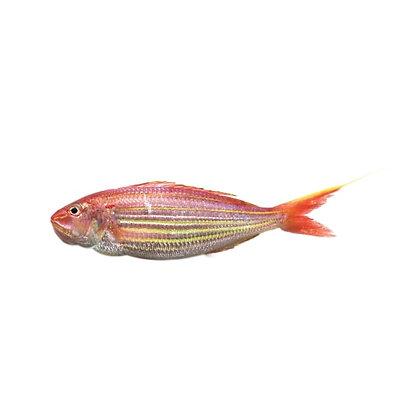 Golden Threadfin Bream