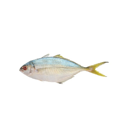 Yellow Tail Scad