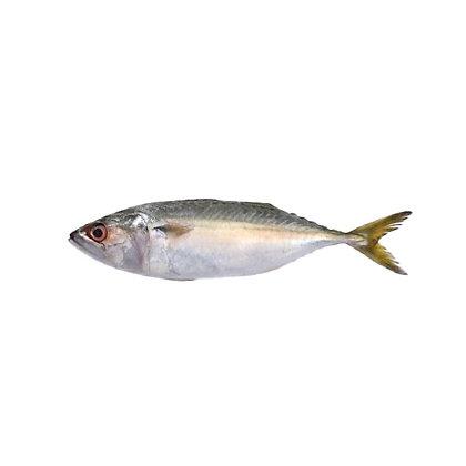 Indian Mackerel