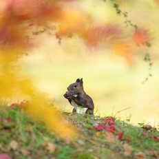 Ezo Risu in Autumn