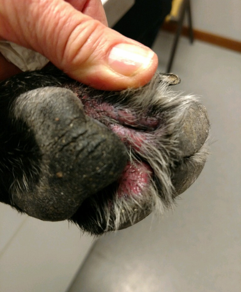Dog Paw Skin Condition2 - Angelcare Pet Resort